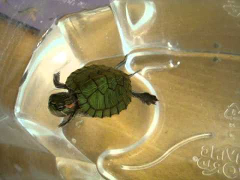Baby Red Eared Slider Feeding Time Youtube,Bleeding Heart Flower Tattoo Meaning