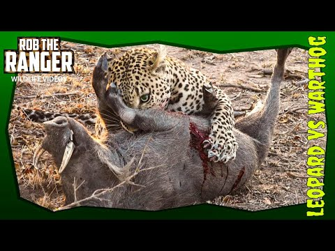 Leopard Killing And Eating Screaming Warthog! Incredibly Graphic Sighting!