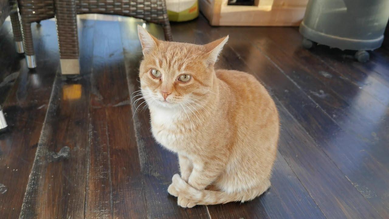 Дикий Рыжий кот. Дрессировка и приручение.