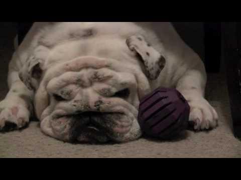 Bob the Bulldog protects his toy