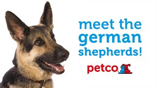 German Shepherd Dog Breed (petco)