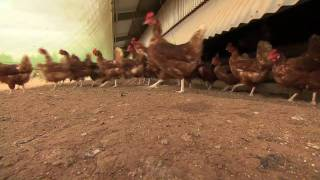 What happens on an RSPCA Approved layer hen farm? (RSPCA Approved Farming)