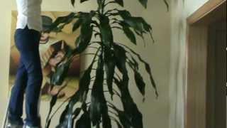 Dracena - Jardinagem - Planta dentro de casa