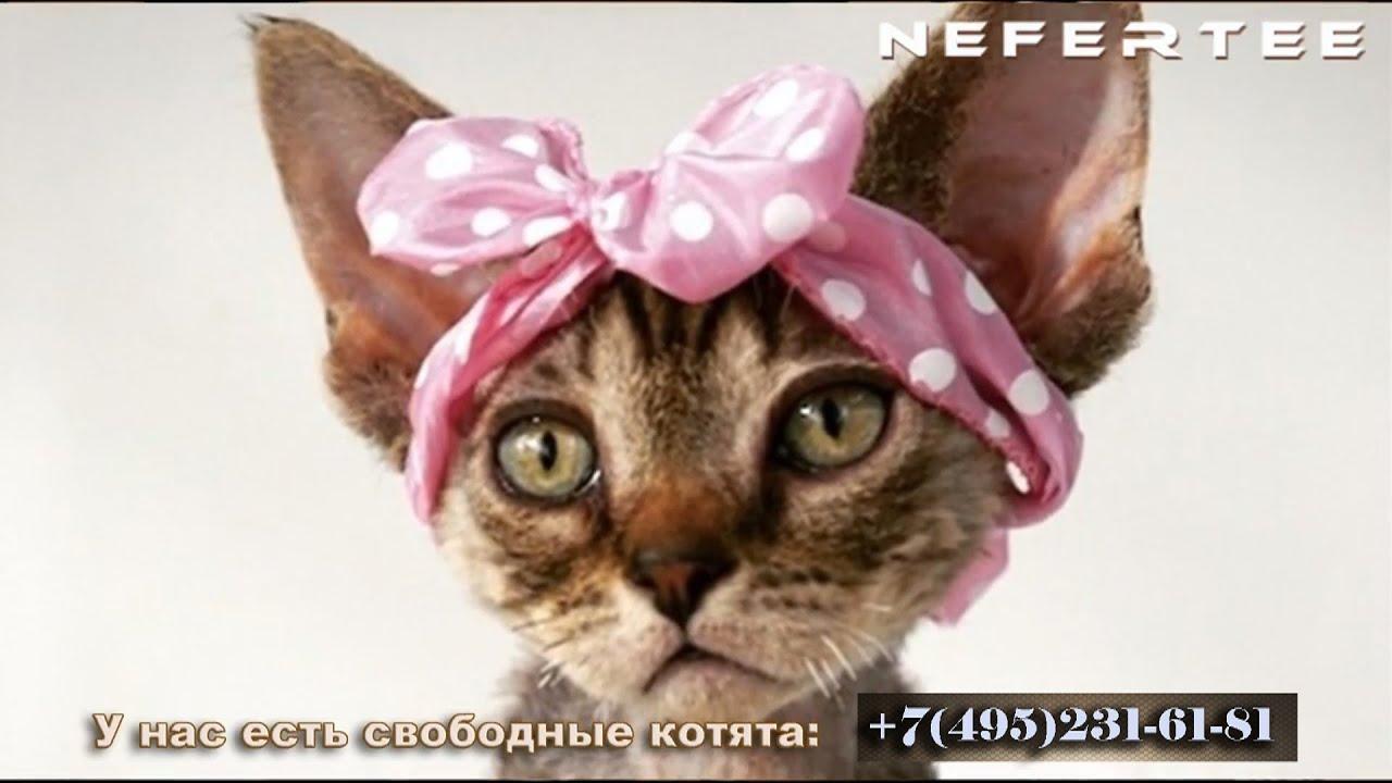 Корниш рекс порода кошек идеально подходящая для людей, которым нравятся энергичные, любознательные и живые кошки. Для корниш рекса все.