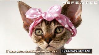 Девон-рекс, Купить девон-рекса. Питомник кошек девон рекс / Devon Rex Cattery, Devon Rex Buy