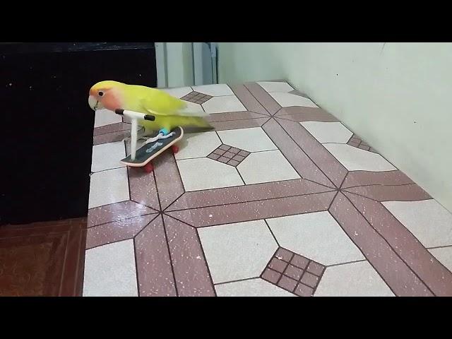 Bird trick:Drigo enjoying to ride the scooter.