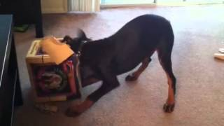 Doberman Puppy Vs Samuel Adams