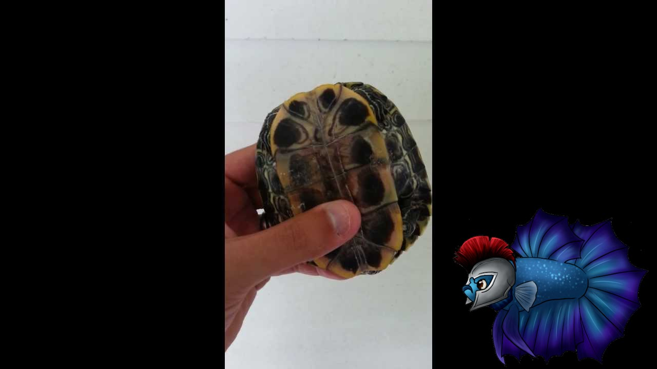Turtle sex red eared slider