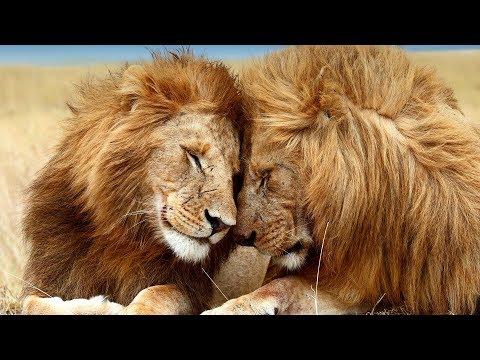 Lion sex wild animal park!