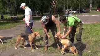 Шарьинская выставка охотничьих собак 2015г .