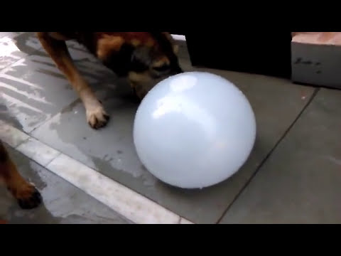 WATER BALLOON POPS BY A DOG