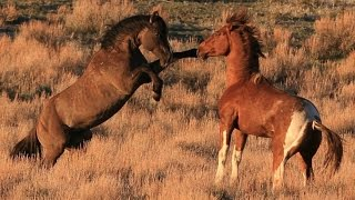 """South Steens stallion """"Valor"""" in battle for mares."""