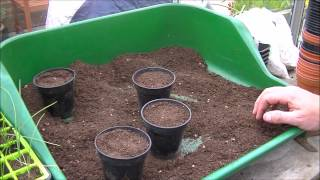 Allotment Journal - Greenhouse and lotty update. More potato planting