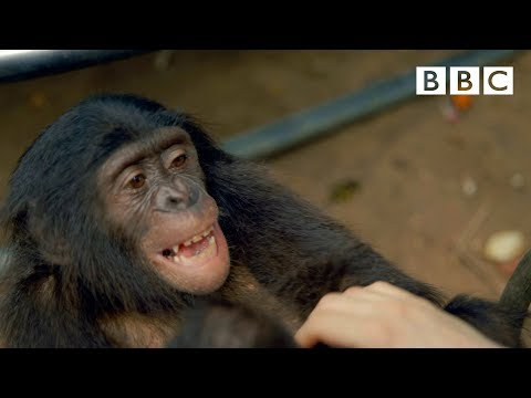 Making a Bonobo laugh - Animals in Love: Episode 1 - BBC One