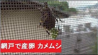 網戸で産卵 カメムシの生態 thumbnail