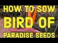 How To Sow Bird Of Paradise Seeds Kicau Mania(.mp3 .mp4) Mp3 - Mp4 Download
