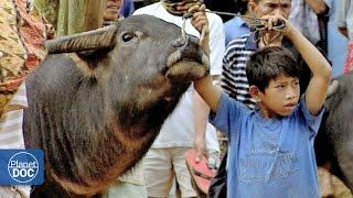 Indonesia. Toraja Funeral (Buffalo Fight) | Tribes & Ethnic Groups