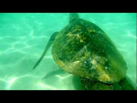 Swimming with a Sea Turtle in the lagoon at Ko Olina beach H