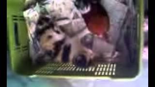 gato vs gallo cubano