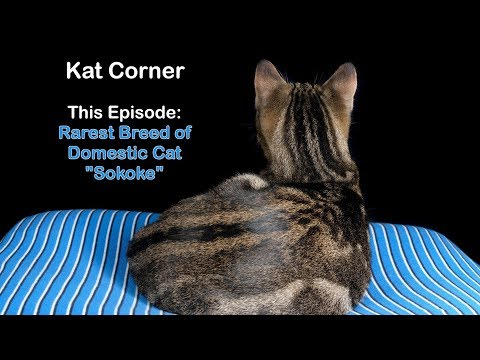 Rarest Breed of Domestic Cat - Sokoke