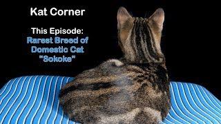 Rarest Breed of Domestic Cat  Sokoke