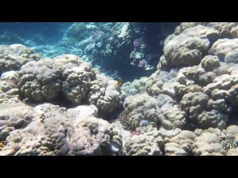 Giant moray egypt sept2016