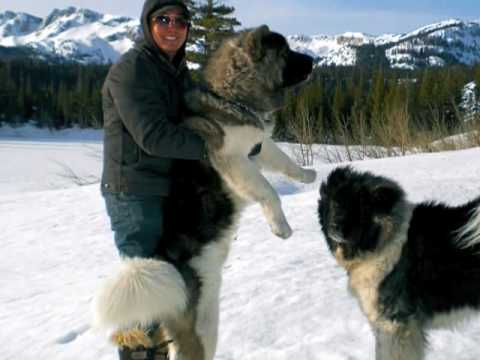 Photos &amp Videos of 2 Long Coat Akitas at Mammoth - YouTube