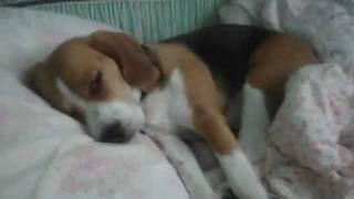 Lucky Beagle!!/Счастливый бигль!!