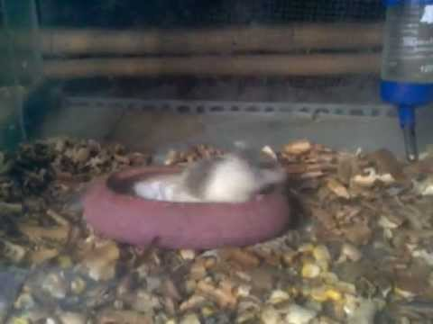 cuộc rượt đuổi tình yêu của chuột hamster
