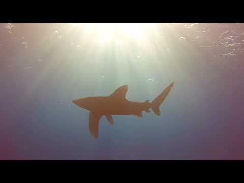 Shark Attacks Its Own Pilot Fish!