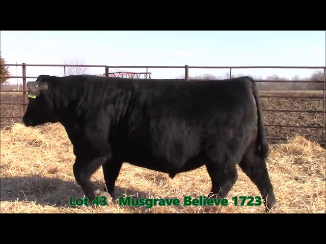Musgrave Angus Lot 43