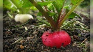 видео Как следует выращивать семена редиса