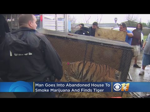 Jeff K - Man Goes Into Vacant Houston Home To Smoke Weed, Finds Massive Tiger