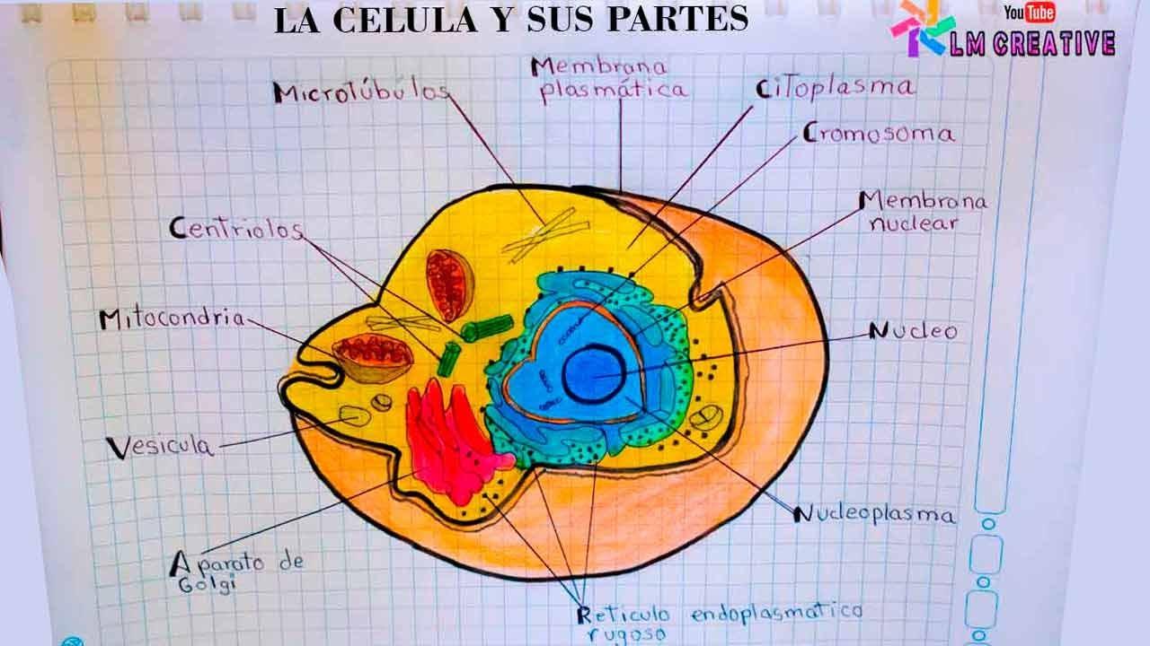 DIBUJO DE LA CÉLULA Y SUS PARTES / the cell and its parts