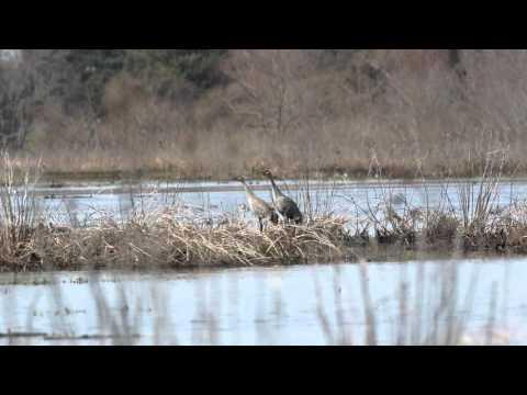 Sandhill Cranes calling in Mannington Marsh
