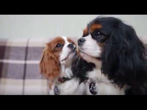 Кавалер Кинг Чарльз Спаниель ➠ Узнайте все о породе собаки