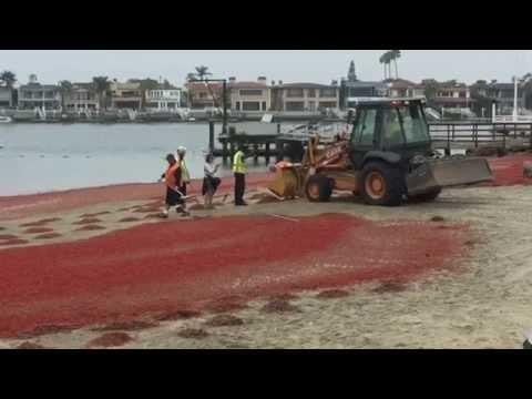 [shocking]-sea-of-tuna-crabs-on-the-shores-of-newport-beach,-ca