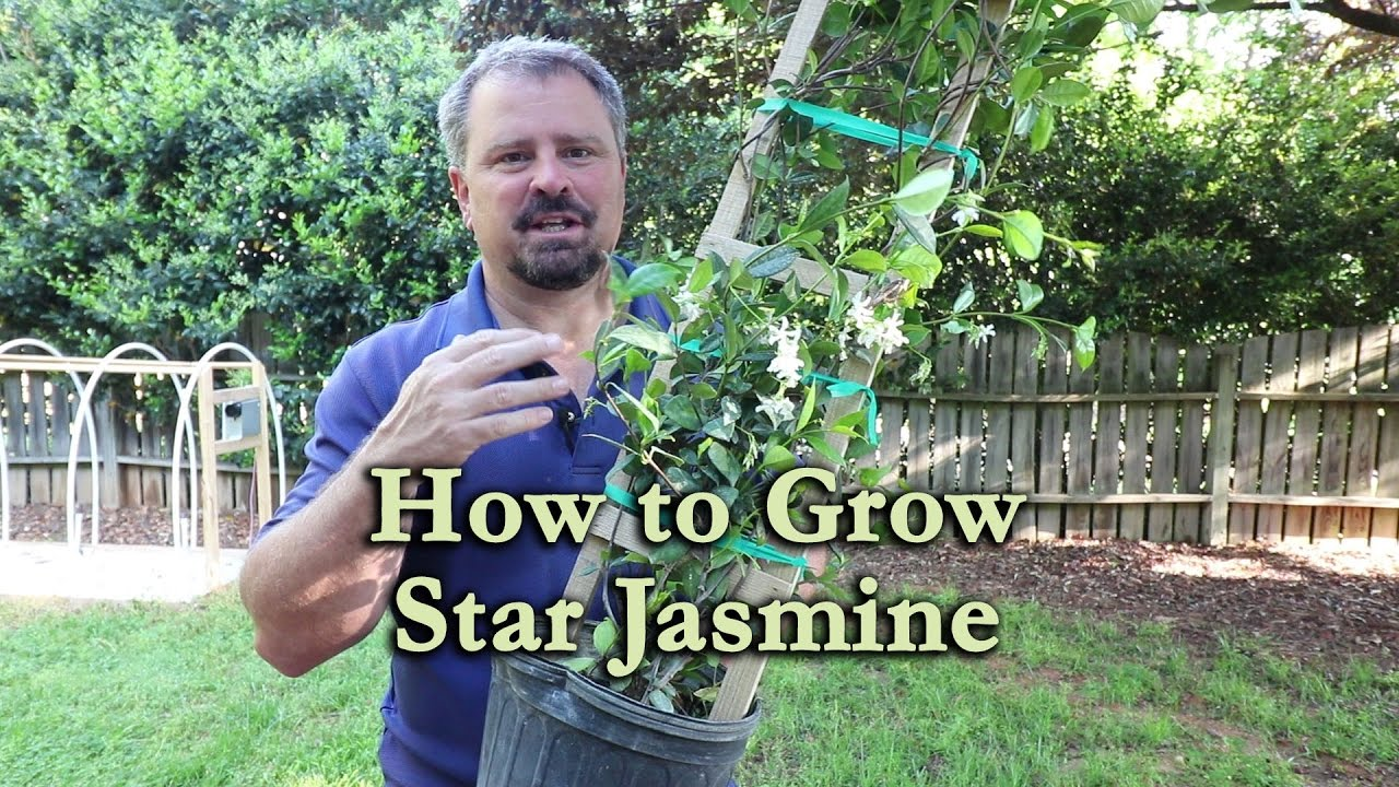 How To Grow Star Jasmine Confederate Jasmine With A Detailed