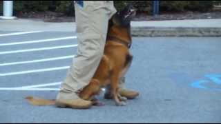 Police K9 Tactical Obedience Training