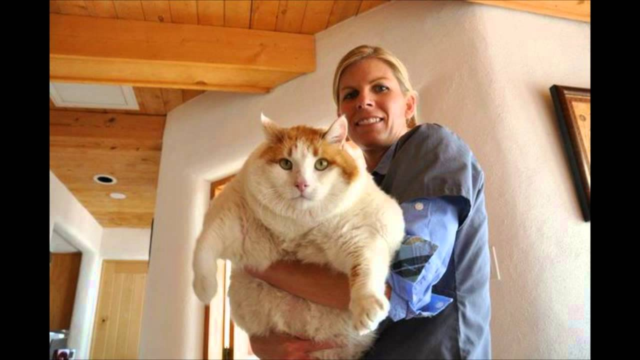Largest Biggest Heaviest Cats In The World Youtube