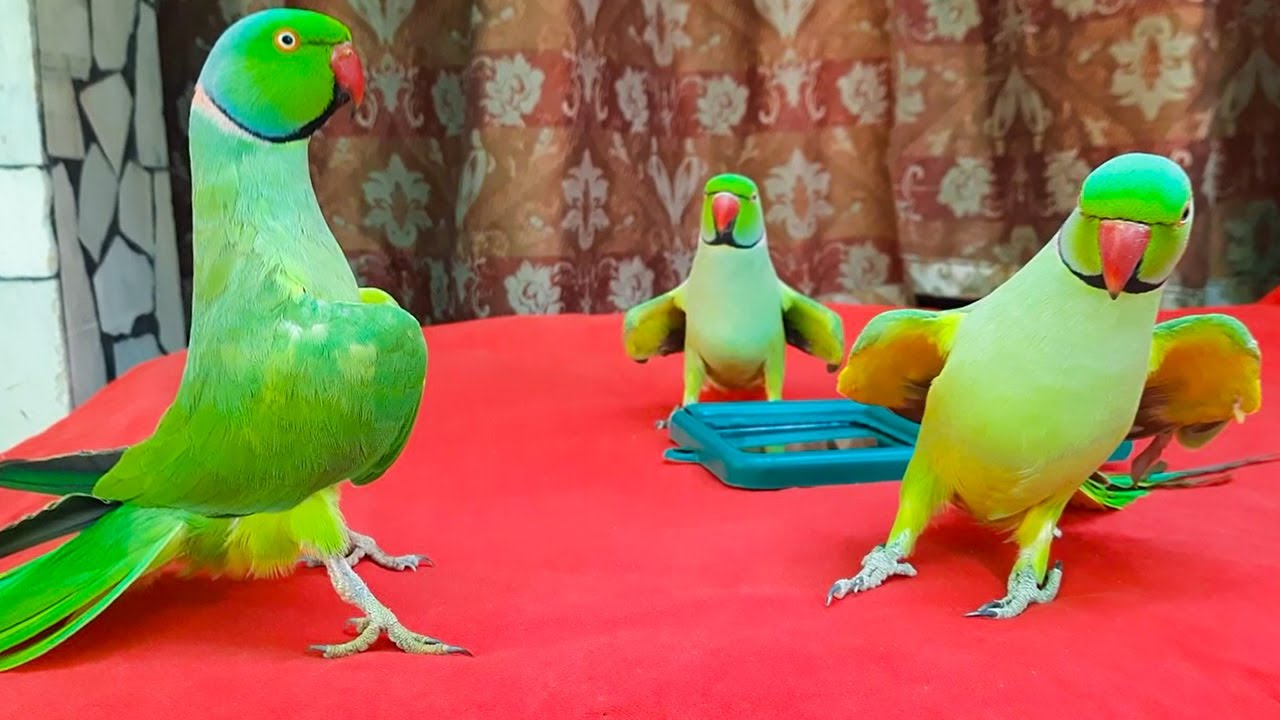Three Amazing Chatterbox Ringneck Dancing And Talking Parrots   Funny Parrots Rainbow Mitthu Tiger