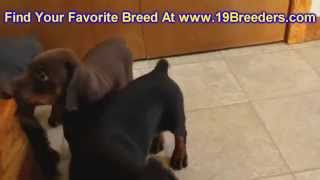 Doberman Pinscher, Puppies, For, Sale, In, Cedar Rapids, Iowa, Ia, West Des Moines, Ames, Council Bl