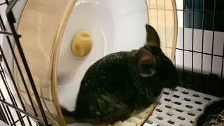 [모찌] 새가족 친칠라 쥐 모찌에요