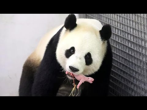 First footage of newborn, baby panda, born in Belgium zoo ...