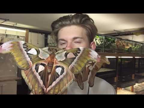 Giant moths from Philippines