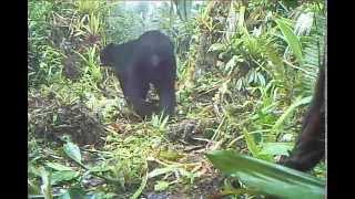 Camera Trap- Ours dans la région de Putumayo en Colombie