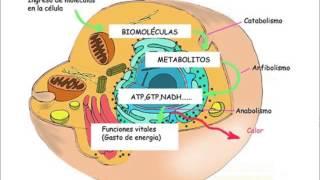 Qué es el metabolismo y cómo funciona