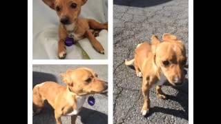 Mondavi Crush 1 Year Old Chihuahua For Adoption