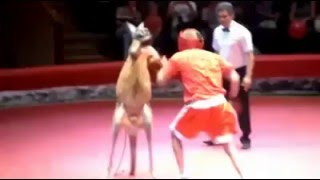 Excited Boxing Kangaroo vs Human