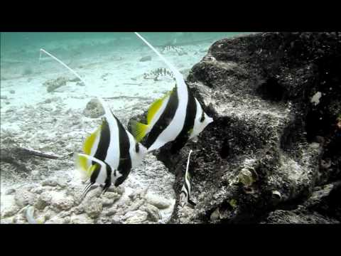 Schooling Bannerfish @ a Cleaning Station